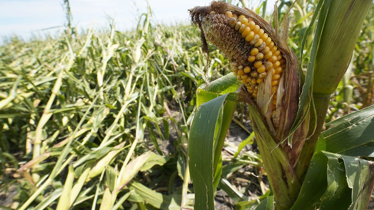 A cornfield damaged in the derecho earlier this month is seen on the Rod Pierce farm, Thursday,...