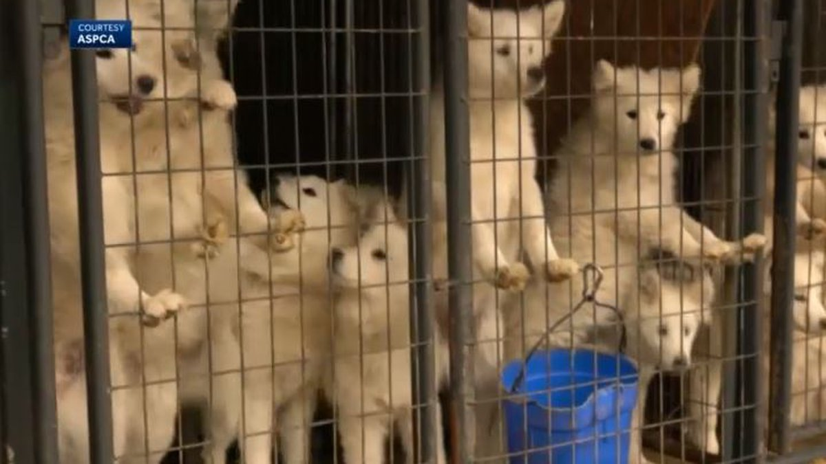 Nearly 170 Samoyed dogs were found at an inhumane commercial breeding facility in northern...
