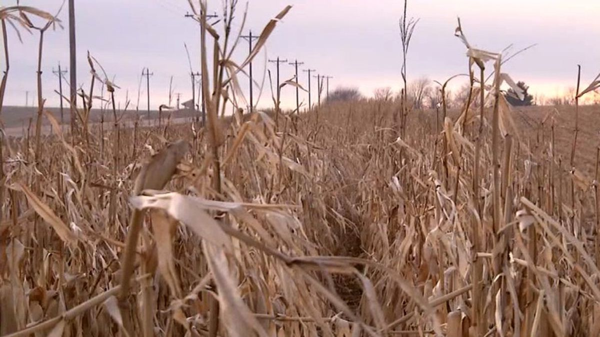 Corn remains standing near the edge of a field in Benton County on Monday, Jan. 6, 2020. The Iowa Department of Transportation compensates farmers who participate in order to improve road conditions in open areas (Rebecca Varilek/KCRG)
