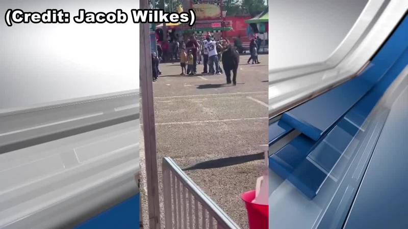 Cow gets loose at East Texas State Fair
