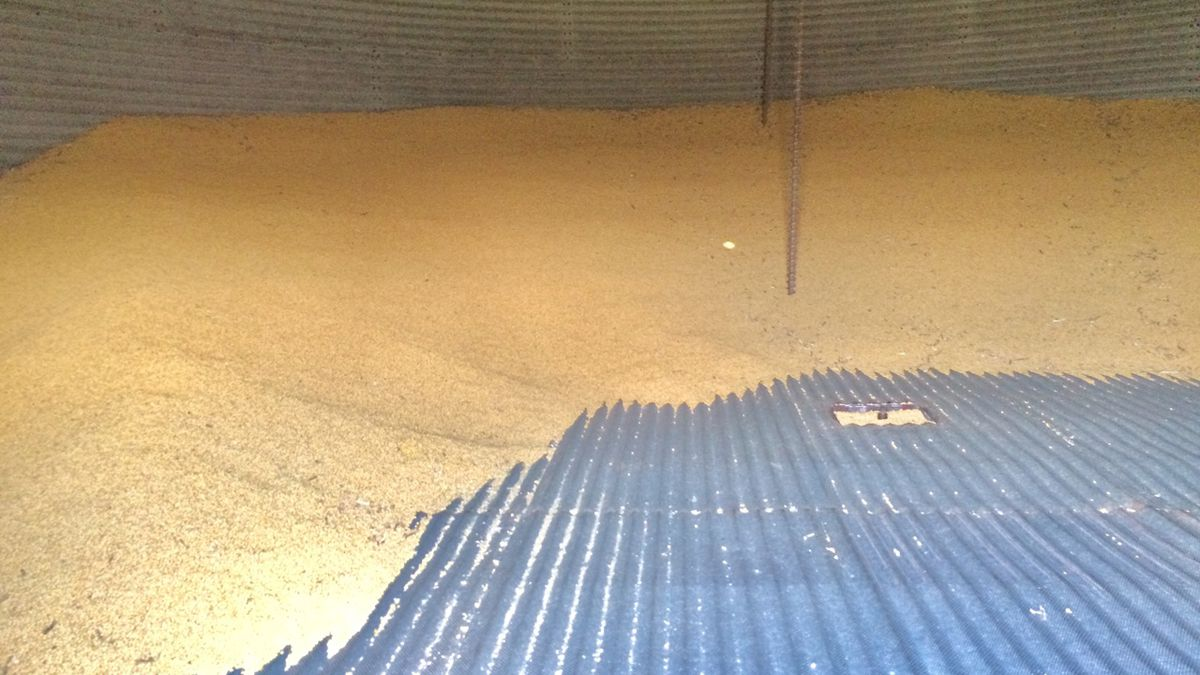 A small amount of soybeans remaining in one farmer's storage bin.  Few Iowa farmers are selling beans now for cash due to prices down 20 percent since early May due to the threat of tariffs.