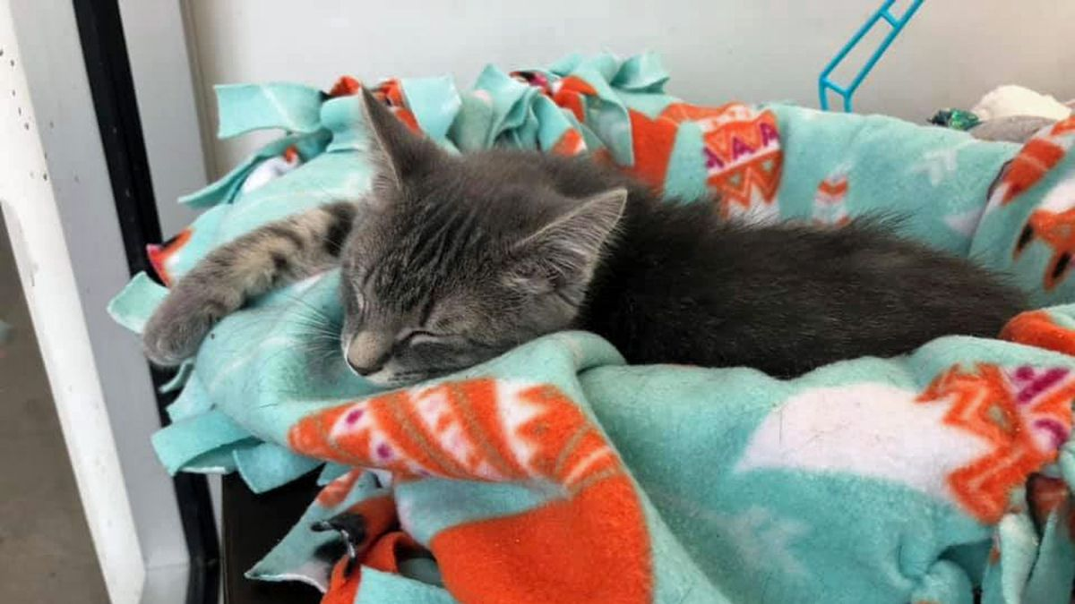 A cat naps at the Iowa City Animal Care & Adoption Center on Wednesday, Feb. 12, 2020 (Jordee Kalk/KCRG)
