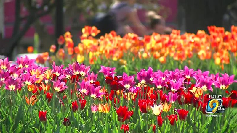 The Pella Historical Society and Museums announced it will be canceling this year's Tulip Time...