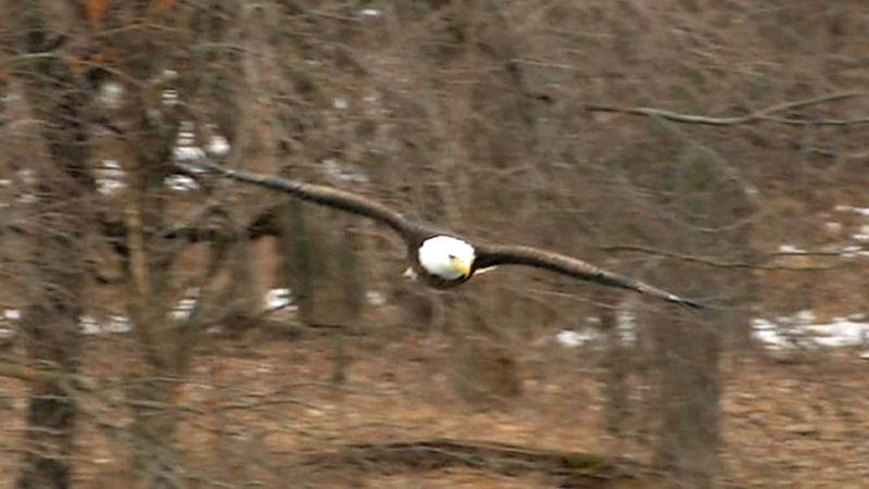 A bald eagle flies around in Coralville on Wednesday, Feb. 12, 2020 (Jackie Kennon/KCRG).