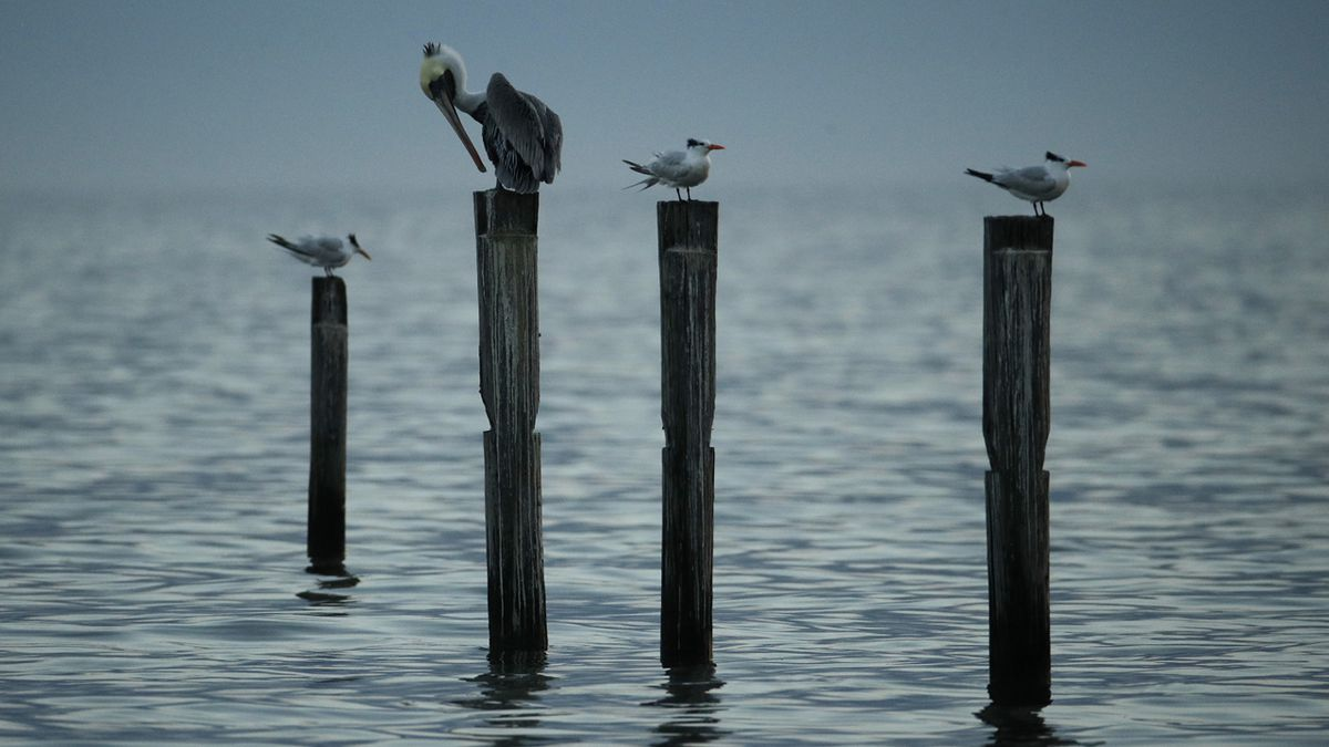 A brown pelican and three caspian terns on the remnants of a pier in the Gulf of Mexico Sunday, Dec. 2, 2018, at Gulfport, Miss.