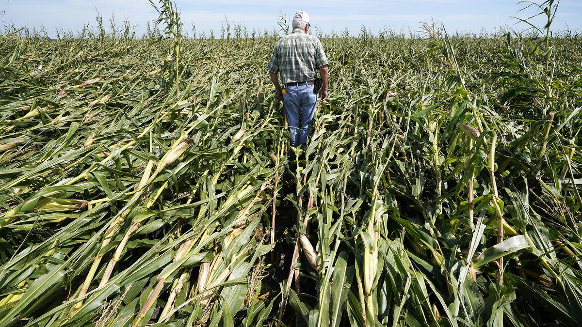 Rod Pierce walks through a cornfield damaged in the derecho earlier this month, Thursday, Aug....