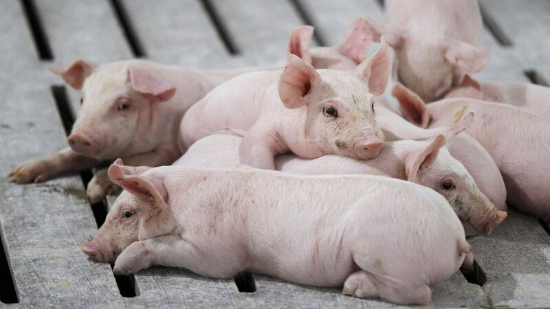 In this Oct. 31, 2018, photo, hogs rest in a pen in a concentrated animal feeding operation, or...