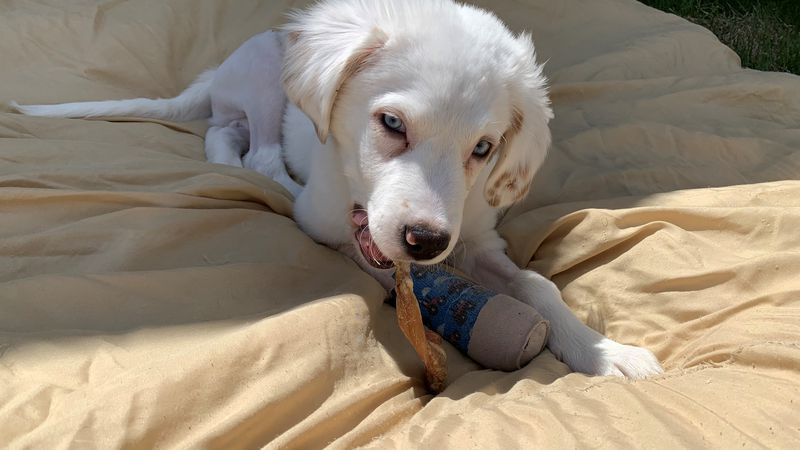 Kimble, the puppy in a recent Cedar Rapids abuse case, has a long road to recovery. Police...