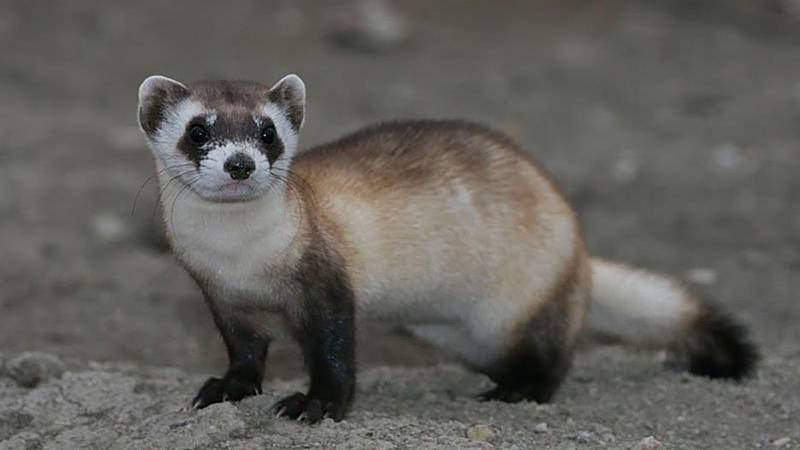 Black-footed ferrets, once thought to be extinct, have slowly increased their numbers under...