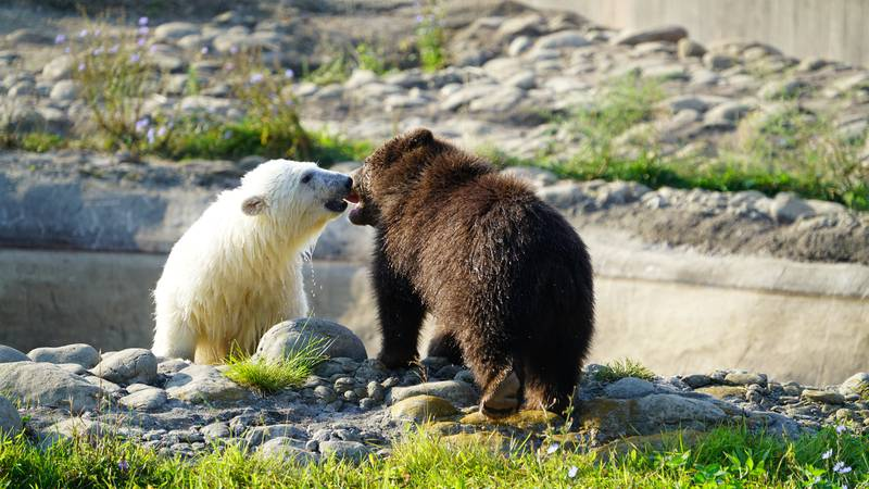 The two young bears wrestle, play with toys and spend their days together.