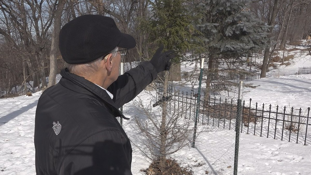 Mark Gromko shows damage to the landscaping on his property after deer came and starting eating...