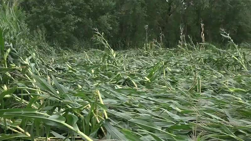 Extreme drought and recent storm impact crops in Bremer County