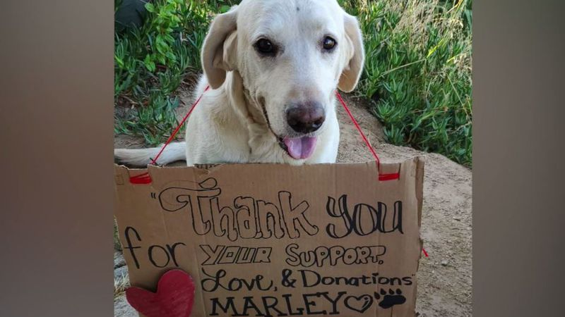 Marley, a 7-year-old Labrador retriever, is at home recovering after saving his owner,...