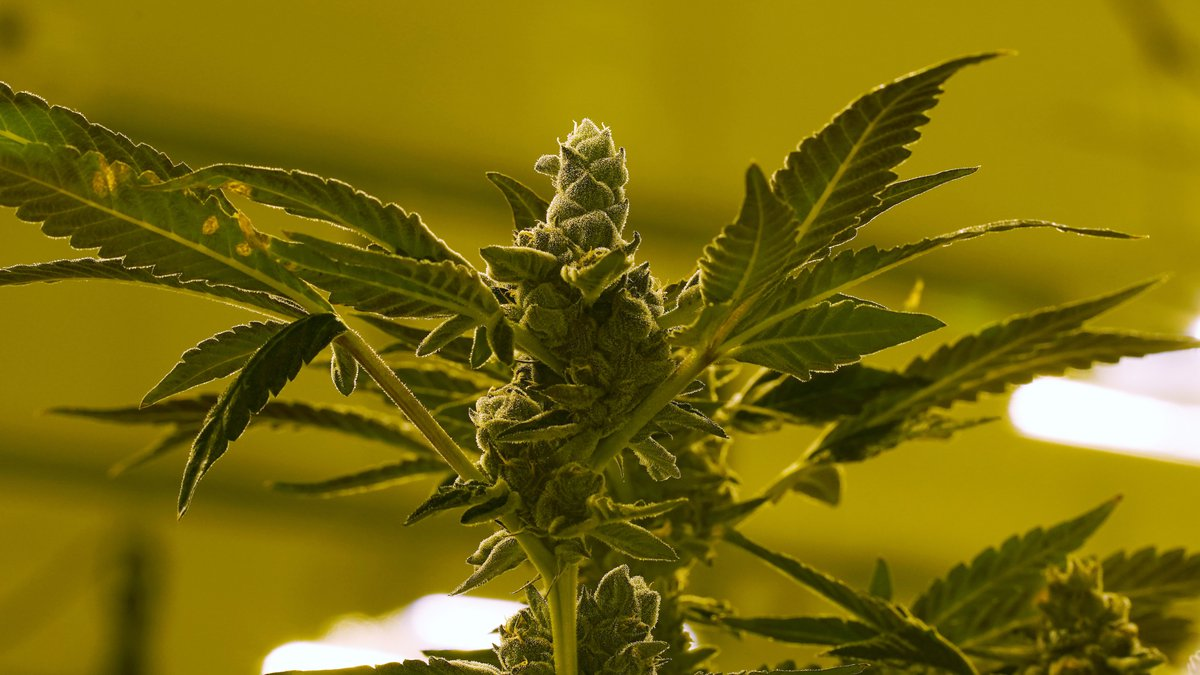 A cannibis plant that is close to harvest grows in a grow room at the Greenleaf Medical...