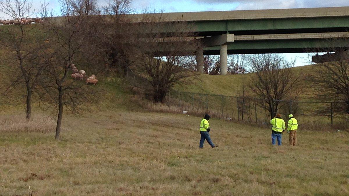 Public safety officers work to corral hogs which escaped when their carrier overturned on the...