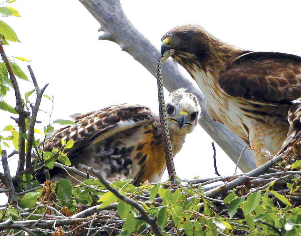 This June 5, 2009, file photo shows a Redtail hawk feeding a snake to one of her young ones...